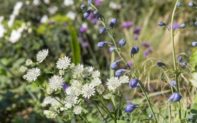 Astrantia Delphinium Traditional Planting Garden Design Essex