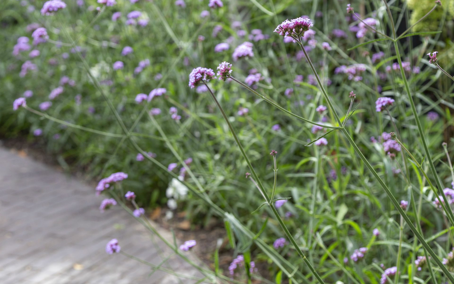 Portfolio Chic Entertaining Courtyard Garden Danbury Essex Verbena Bonariensis