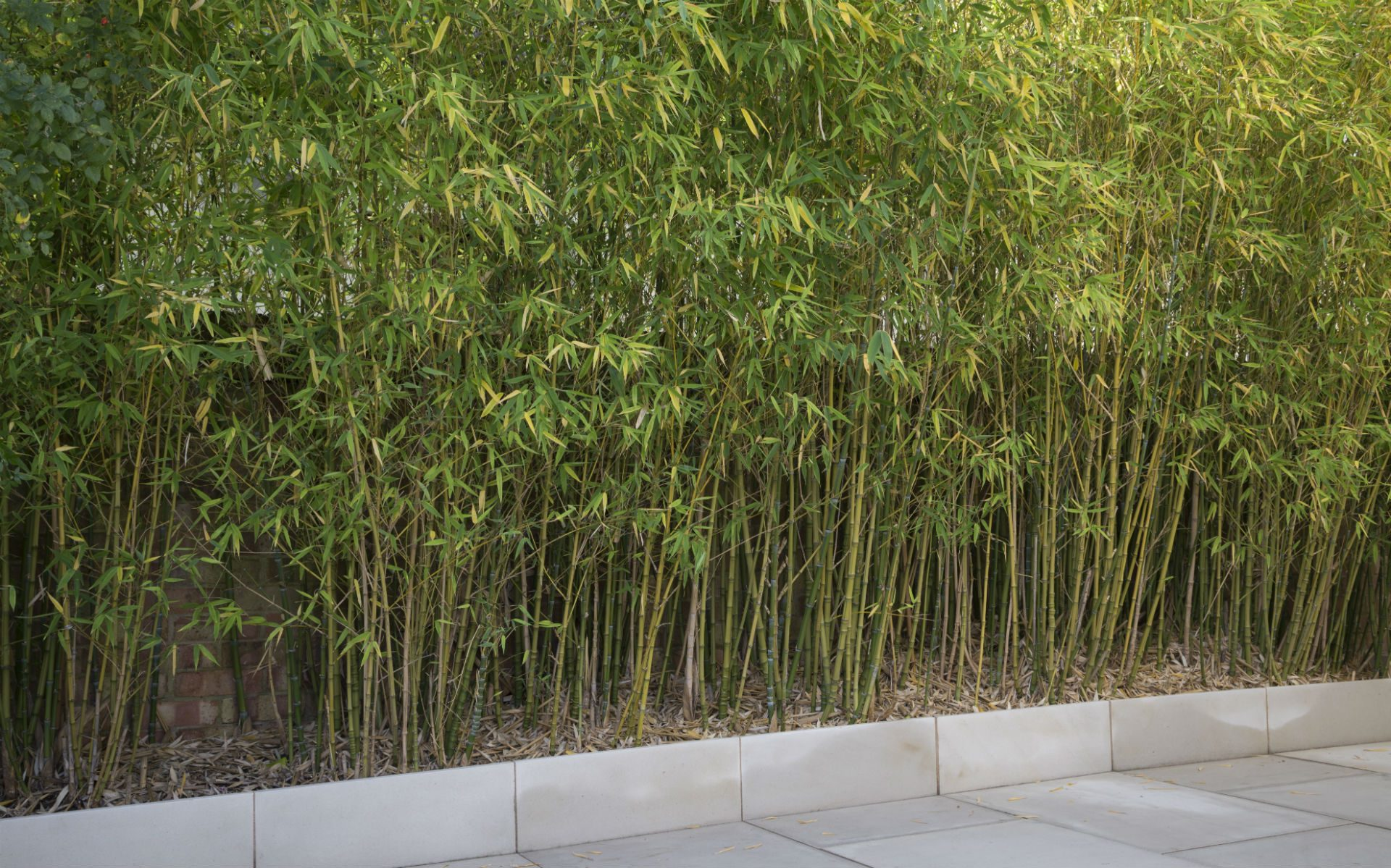 Portfolio Contemporary Garden Chelmsford Essex Bamboo Hedge